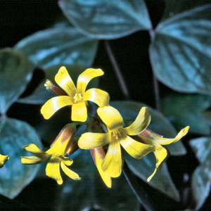 Oxalis ortgiesii